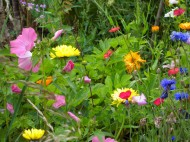 Wild flowers in the garden.