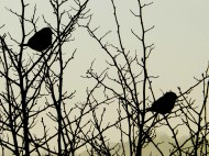 sparrows-in-the-apple-trees-1a2